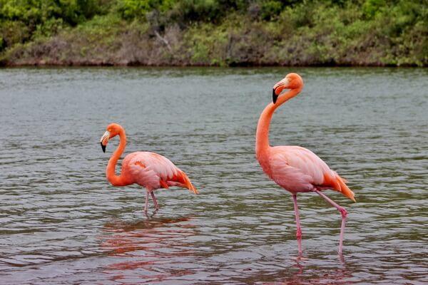 Птицы Галапагосских островов с фото и описанием - Галапагосский красный фламинго