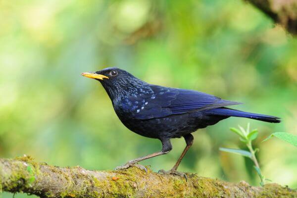 Птицы Шри-Ланки с фото и описанием - Свистящий дрозд Шри-Ланки