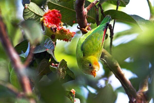 Птицы Шри-Ланки с фото и описанием - Цейлонский висячий попугайчик