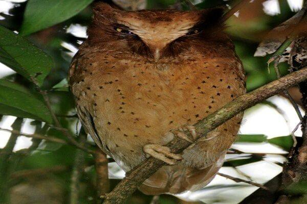 Птицы Шри-Ланки с фото и описанием - Сова Серендиба (цейлонская совка)