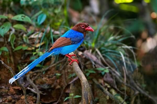 Птицы Шри-Ланки с фото и описанием - Цейлонская лазоревая сорока (голубая сорока Шри-Ланки)