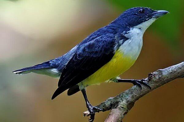 Птицы Шри-Ланки с фото и описанием - Белогорлый цветосос (дятел Легге или дятел с белым горлом)