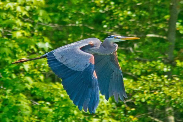 Животные голубого и синего цвета с фото и описанием - Большая голубая цапля
