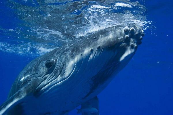 Животные голубого и синего цвета с фото и описанием - Синий кит