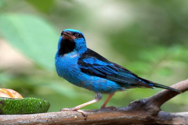 Животные голубого и синего цвета с фото и описанием - Синий дакнис