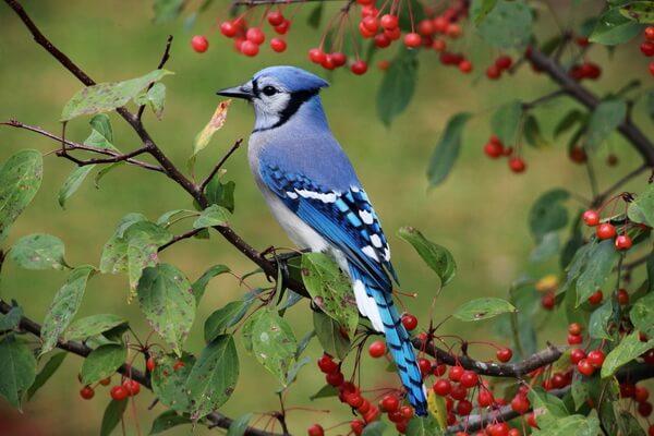 Животные голубого и синего цвета с фото и описанием - Голубая сойка
