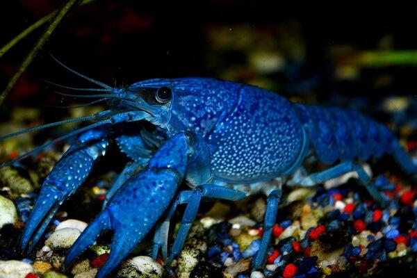 Животные голубого и синего цвета с фото и описанием - Флоридский синий рак