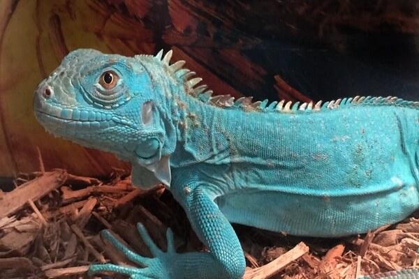 Животные голубого и синего цвета с фото и описанием - Голубая игуана