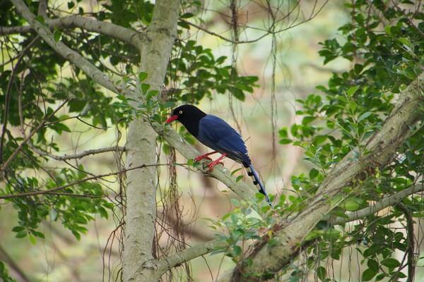 Животные голубого и синего цвета с фото и описанием - Толстоклювая лазоревая сорока
