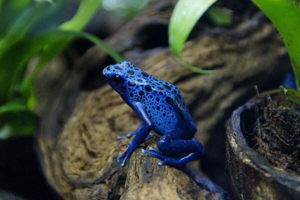 Животные голубого и синего цвета с фото и описанием - Голубой древолаз