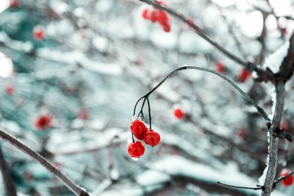 Болотные ягоды с фото и описанием - Клюква зимой