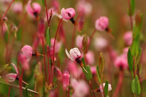 Болотные ягоды - Цветение клюквы