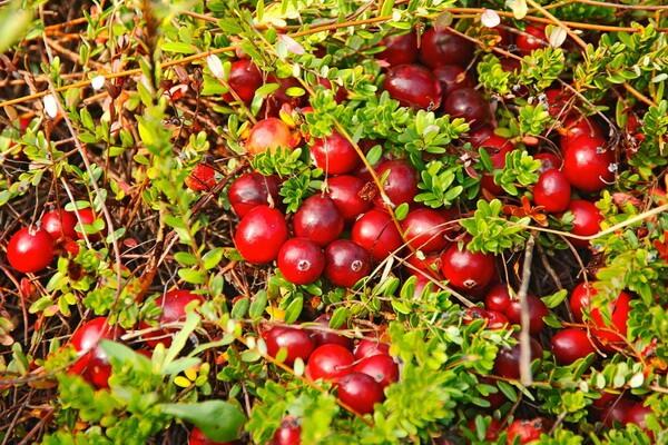 Ягоды, растущие на болоте - Клюква