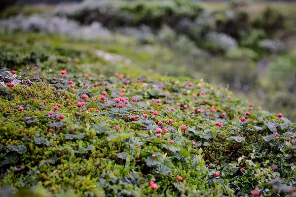 Болотные ягоды с фото и описанием - Морошка