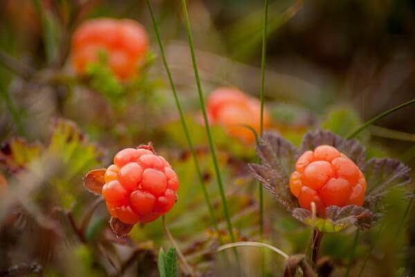Ягоды, растущие на болоте - Морошка
