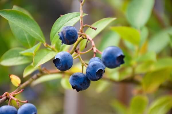 Болотные ягоды с фото и описанием - Голубика