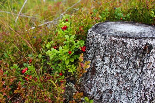 Болотные ягоды с фото и описанием - Брусника