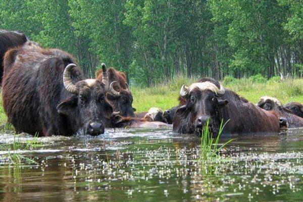 Озеро Керкини в Греции - место обитания водяных буйволов