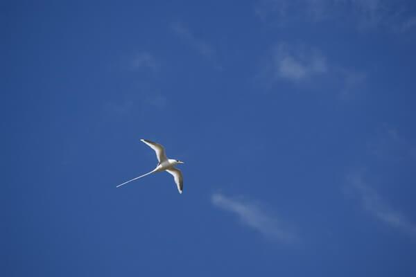 Белый фаэтон - птица-эндемик Маврикия