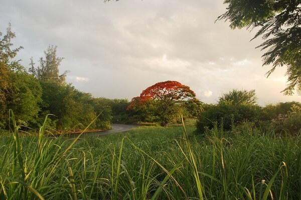 Плантации сахарного тростника на Маврикии