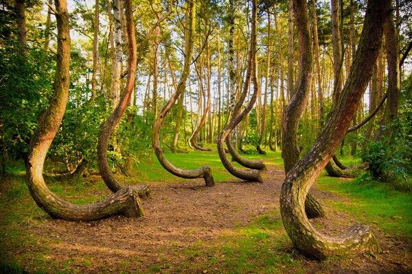 Природные достопримечательности Европы с фото и описанием - Кривой лес в Польше