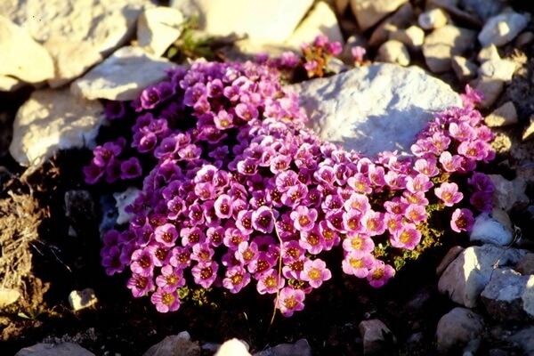 Цветы-символы Канады с фото и описанием - Камнеломка супротивнолистная, Нунавут