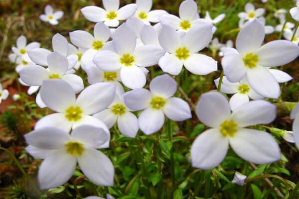Цветы-символы Канады с фото и описанием - Эпигея ползучая или майский цветок, Новая Шотландия