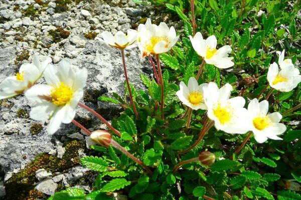 Цветы-символы Канады с фото и описанием - Дриада восьмилепестная, Северо-Западные территории