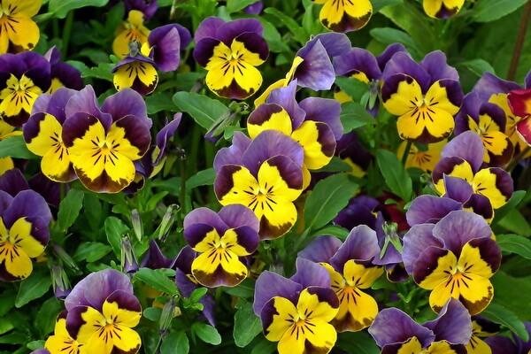 Цветы-символы Канады с фото и описанием - Анютины глазки, Нью-Брунсвик