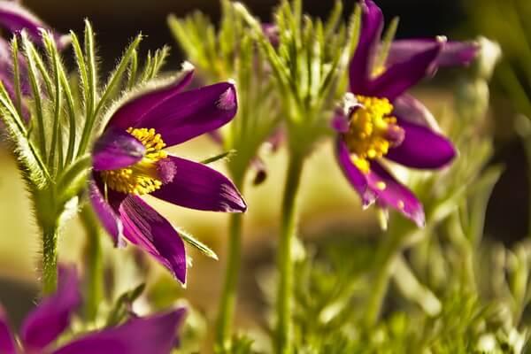 Цветы-символы Канады с фото и описанием - Прострел раскрытый, Манитоба