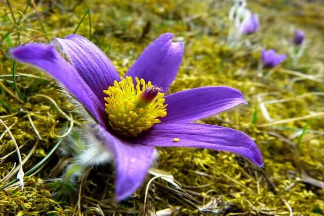 Цветы-символы Канады и её провинций с фото и описанием