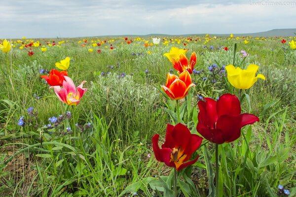 Виды диких тюльпанов Крыма с фото и описанием