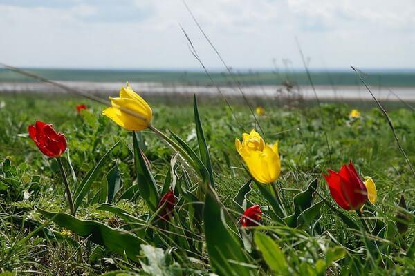 Виды диких тюльпанов Крыма с фото и описанием - Тюльпаны Шренка