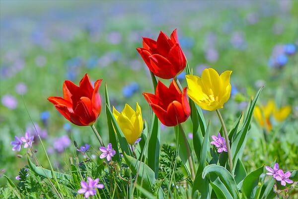 Дикие тюльпаны в Крыму - Тюльпаны Шренка