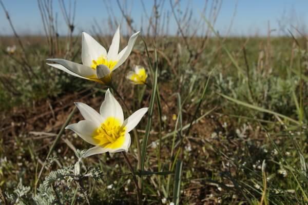 Виды диких тюльпанов в Крыму с фото и описанием - Двухцветковые или тюльпаны Калье