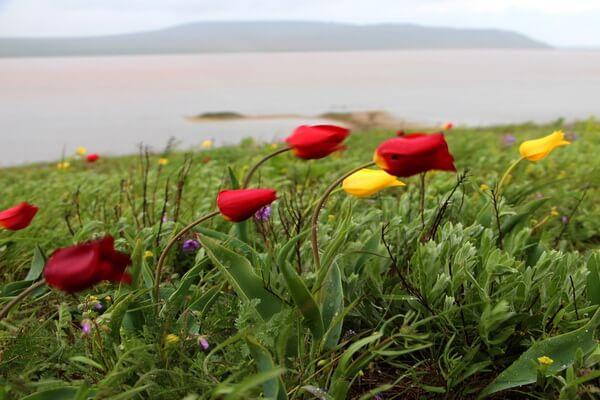 Когда цветут дикие тюльпаны в Крыму