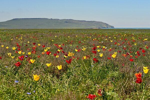 Где и когда цветут дикие тюльпаны в Крыму