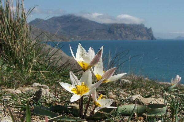 Дикие коктебельские тюльпаны в Крыму
