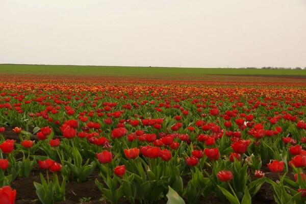 Тюльпаны в Крыму в посёлке Янтарное