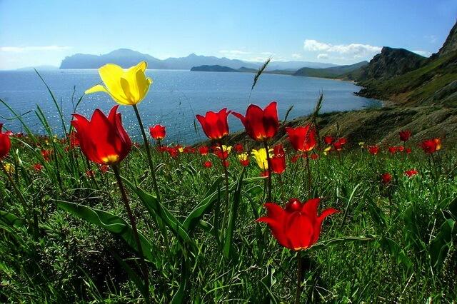 Дикие тюльпаны в Крыму - виды с фото, описанием и указанием мест, где они растут