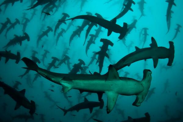 Лучшие места Коста-Рика для дайвинга с акулами - Остров Кокос