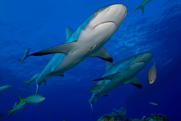 Дайвинг с акулами - Лимонные акулы