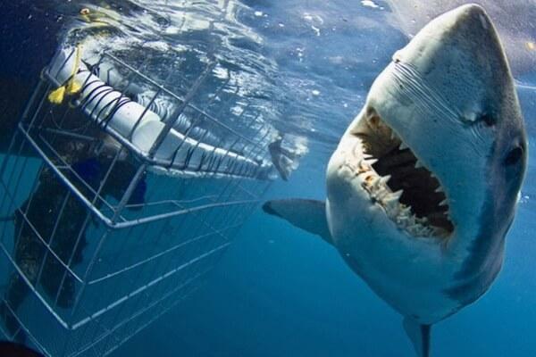 Дайвинг с белыми акулами в Хансбай, ЮАР