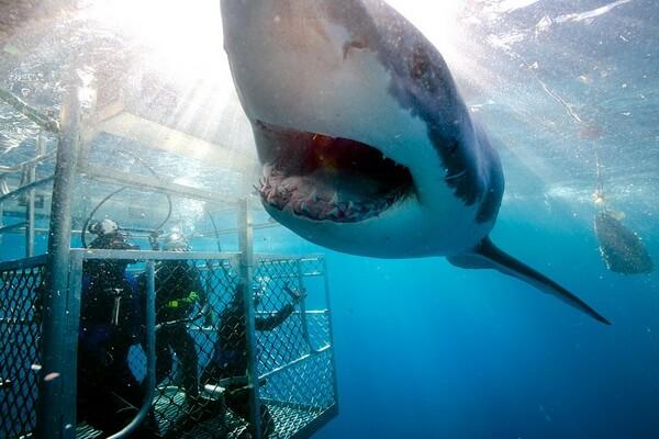 Дайвинг с белыми акулами - Нептуновы острова, Австралия