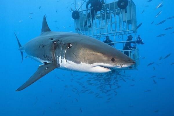 Дайвинг с белыми и голубыми акулами - Гуадалупе, Мексика