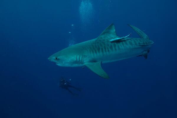 Лучшие места для дайвинга с акулами - Мозамбик