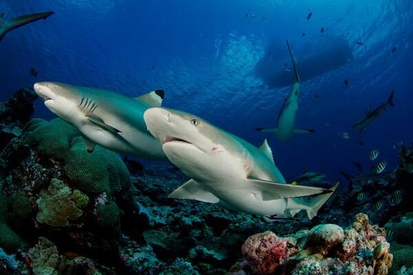 Лучшие места для дайвинга с акулами - Морской заповедник рифовых акул, Фиджи