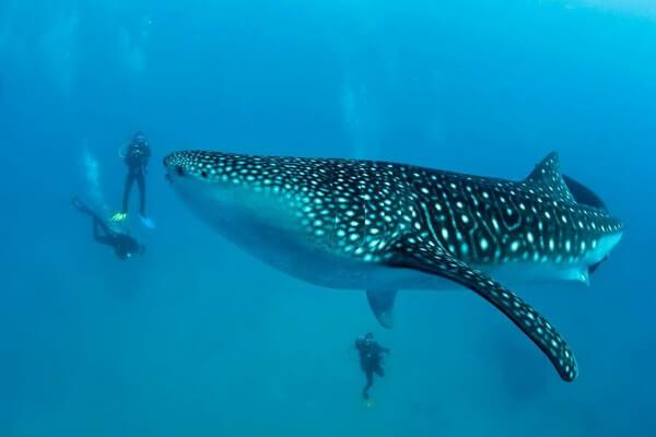 Дайвинг с акулами - Себу, Филиппины