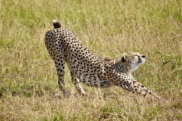 Животные Алжира с фото и описанием - Северозападный африканский гепард