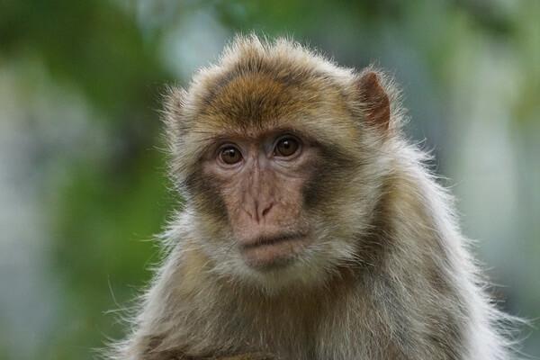 Животные Алжира с фото и описанием - Магот или берберская обезьяна